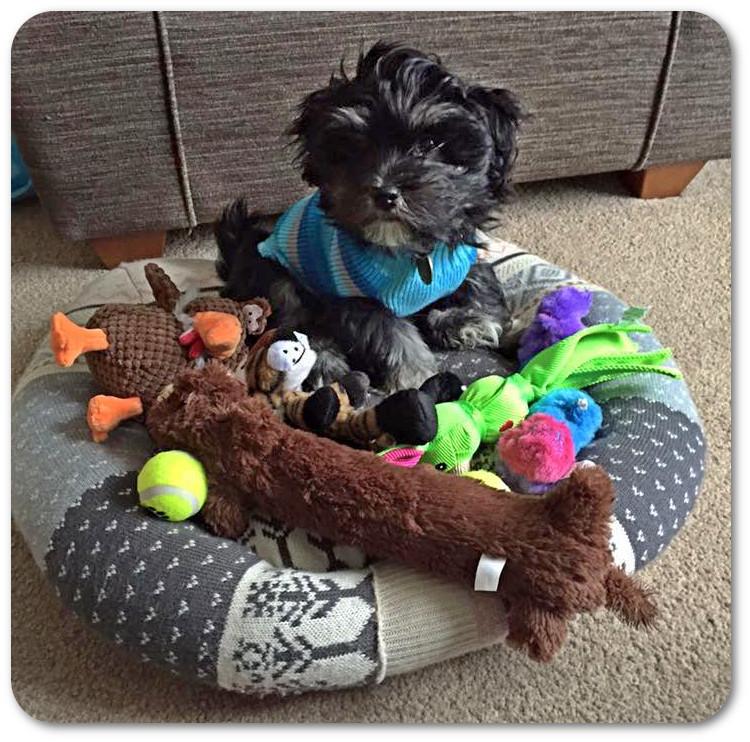 havanese_puppy