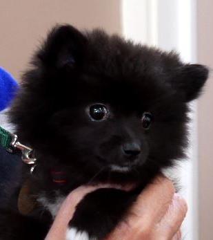 Currant Pomeranian